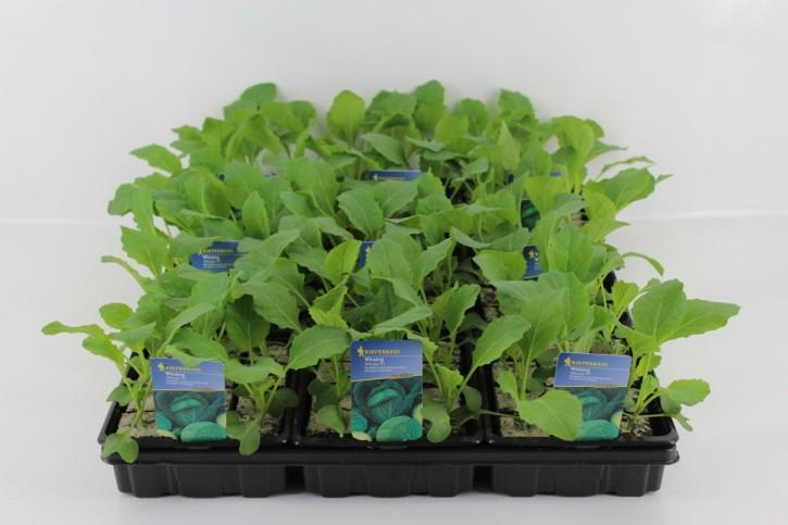Wirsing-Jungpflanzen 'Wirosa' (12er Schale) • VE 9