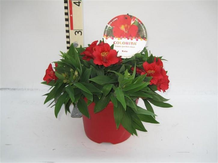 Alstroemeria-Hybriden 'Colorita' T 21 MIX