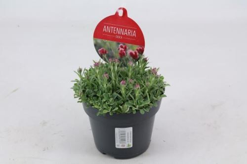 Antennaria dioica T 12 • VE 8