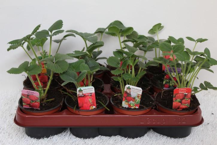 Erdbeere T 9,5 CC-MIX (OHNE Sortenschutz)