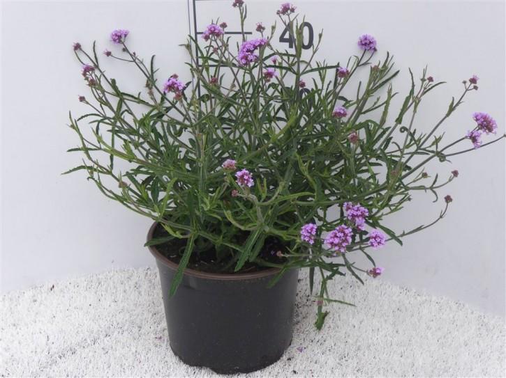 Verbena bonariensis T 23
