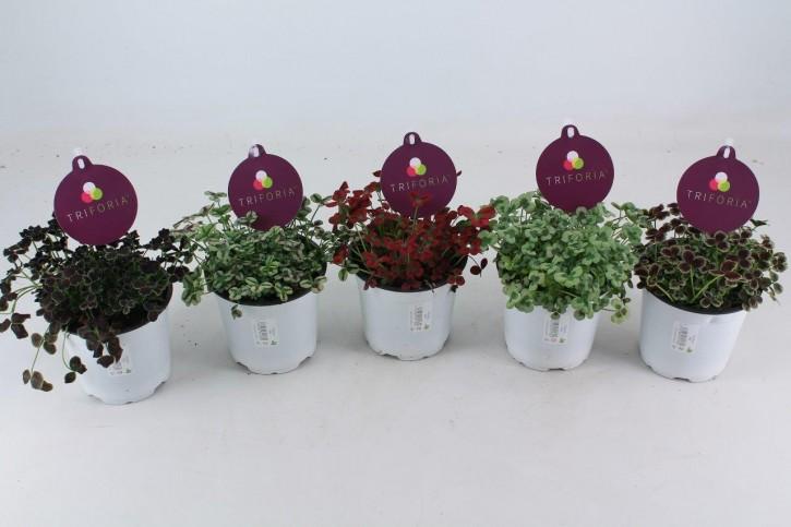 Trifolium repens TRIFORIA T 13 MIX