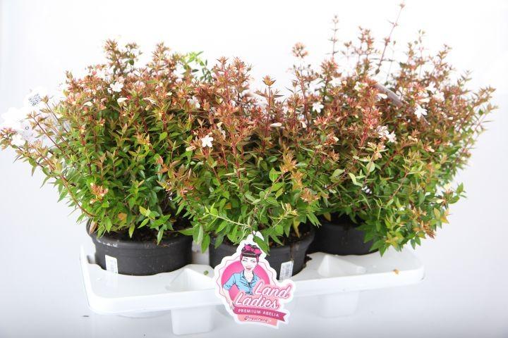 Abelia grandiflora LAND LADIES   T 19   MIX-Palette