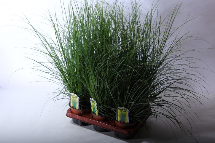 Carex brunnea 'Dark Green'  T 13  •  VE 6