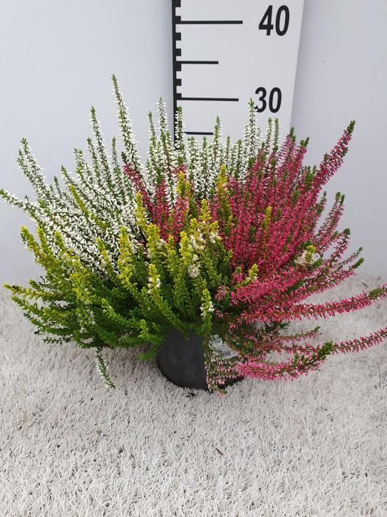 Calluna vulgaris T 17 GardenGirls® TRIO