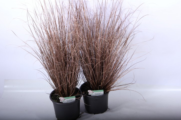 Carex buchananii 'Red Rooster' T 17