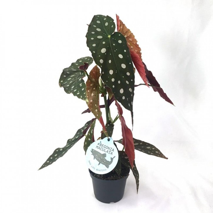 Begonia maculata T 12