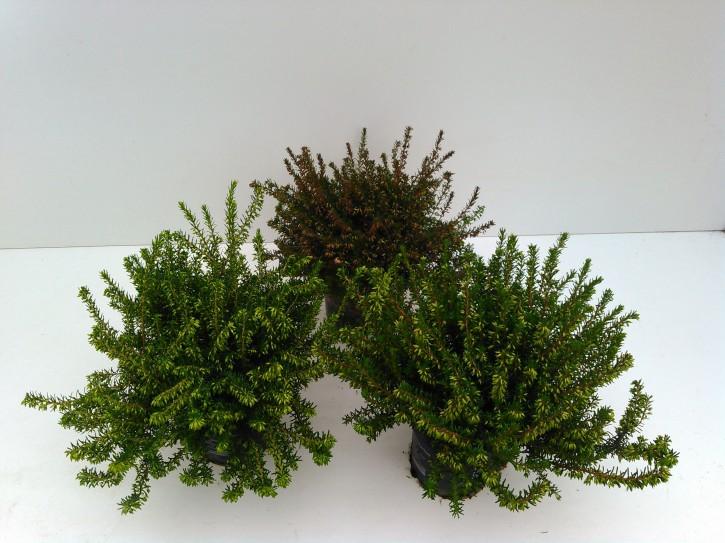 Erica darleyensis T 11