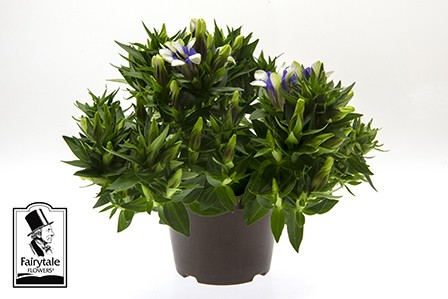 Gentiana scabra 'Rocky Diamond Royal Stripes' T 10,5