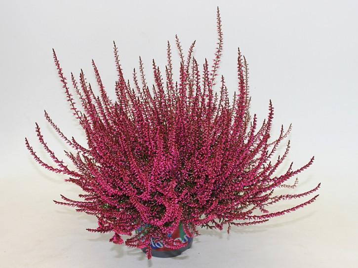 Calluna vulgaris PICASSO T 12 gefärbt ROT