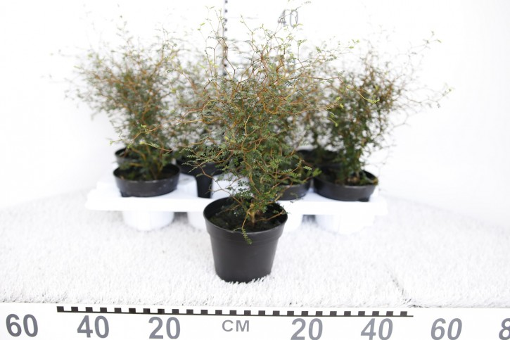 Sophora japonica 'Little Baby' T 13