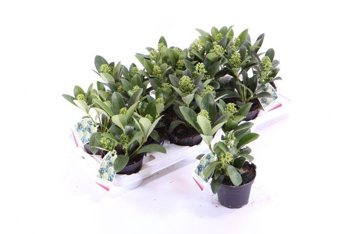 Skimmia japonica   'Finchy®'   T 10   (3-4 WEISSE Dolden)