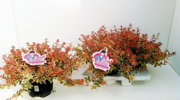 Abelia grandiflora T 19 'Lady Peach'