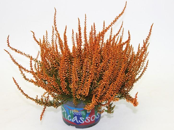 Calluna vulgaris PICASSO T 12 gefärbt ORANGE