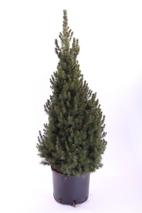 Picea glauca 'Conica'   75/80 cm   T 26
