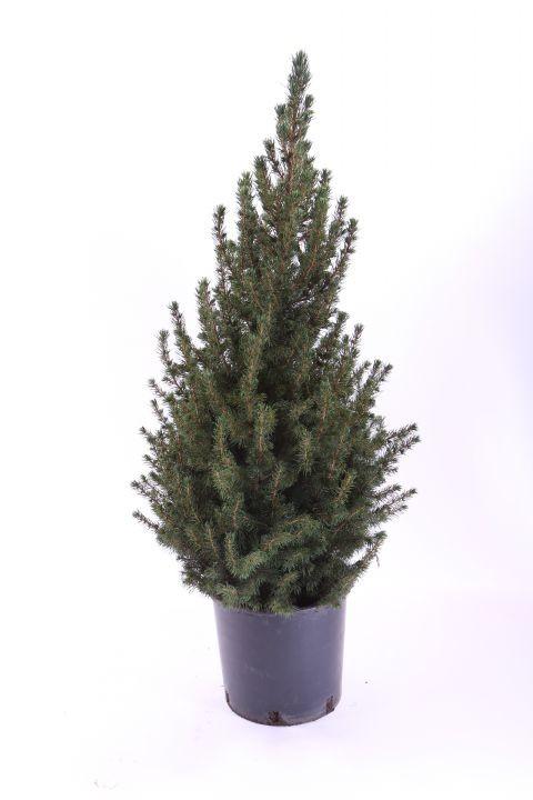 Picea glauca 'Conica'  60/65 cm   T 23