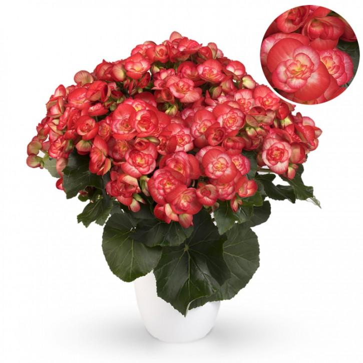 Begonia-Elatior-Hybriden T 13 'Rolinde' (rot-weiß)