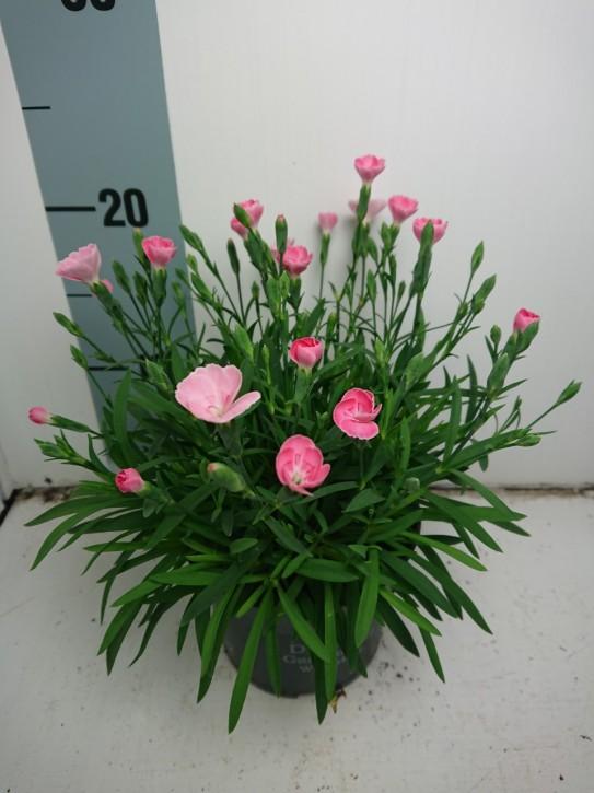 Dianthus caryophyllus 'Peach Party' T 12