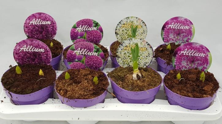 Allium karataviense 'Ivory Queen' T 14