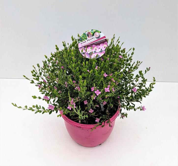 Boronia crenulata 'Pink Pearl' (pink) T 19