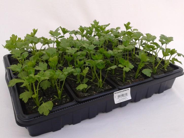 Knollensellerie Jungpflanzen (6er Schale)