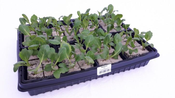 Weißkohl Jungpflanzen (6er Schale) • VE 8