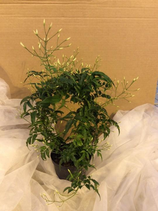 Jasminum polyanthum T 11 Bogen 30 cm • VE 12