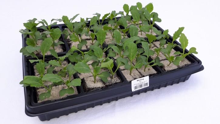 Wirsing Jungpflanzen (6er Schale) • VE 8