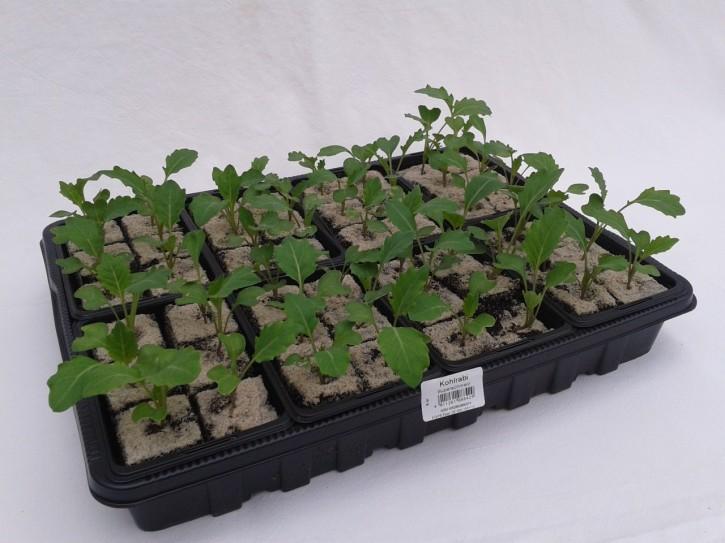 Kohlrabi SUPERSCHMELZ Jungpflanzen (6er Schale)