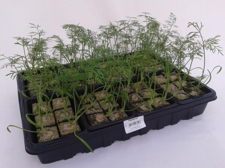 Fenchel Jungpflanzen (6er Schale)