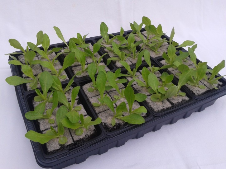 Kopfsalat GRÜN Jungpflanzen (6er Schale)