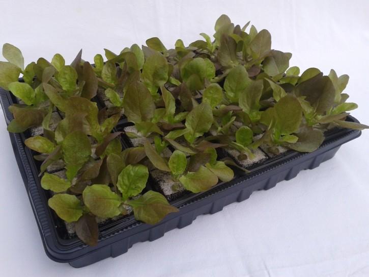 Kopfsalat ROT Jungpflanzen (6er Schale)