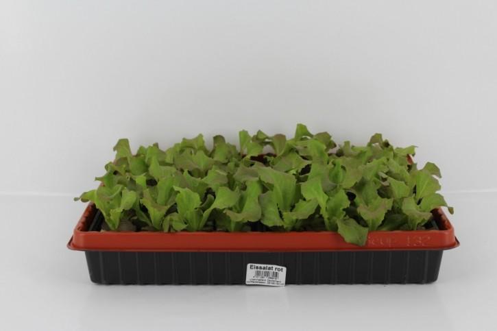 Eissalat ROT Jungpflanzen (6er Schale)