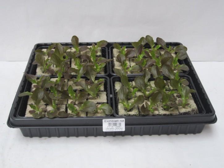 Eichlaubsalat ROT Jungpflanzen (12er Schale)