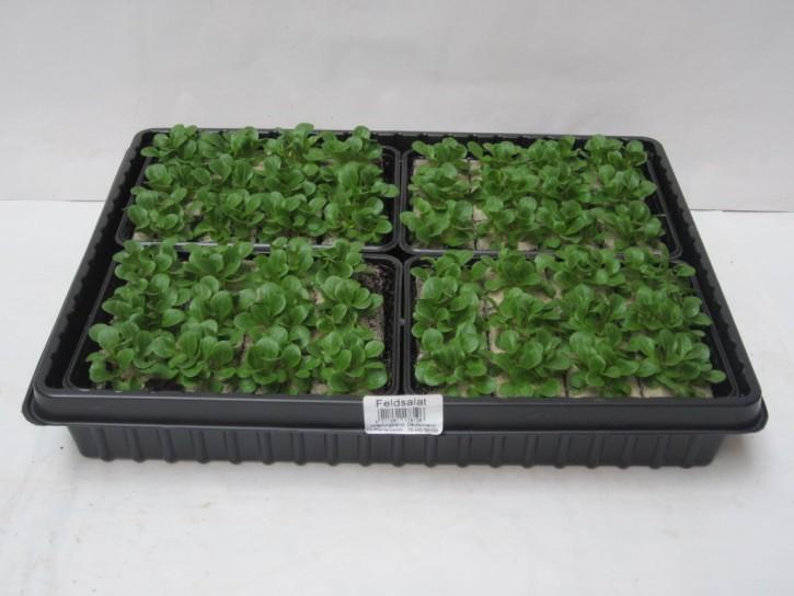 Feldsalat Jungpflanzen (12er Schale)