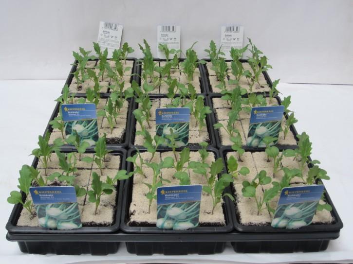 Kohlrabi WEISS 'Konmar' F1 Jungpflanzen (12er Schale)