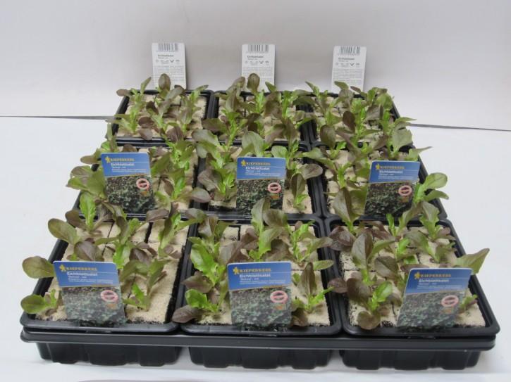 Eichblattsalat 'Sirmai' ROT Jungpflanzen (12er Schale)