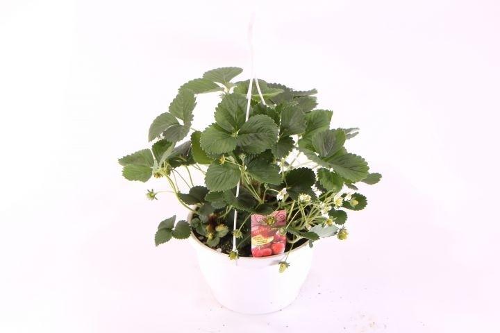 Erdbeere 'Ostara' T 25 Ampel