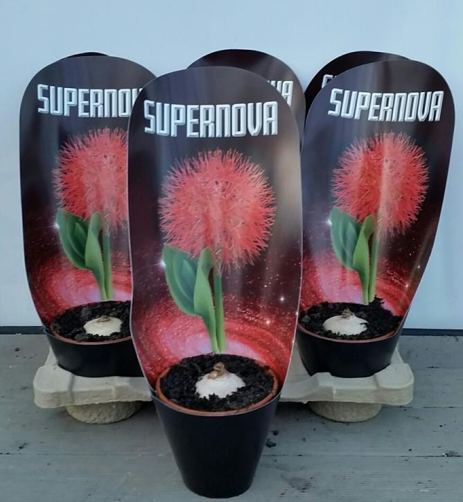 Scadoxus puniceus T 12 Supernova mit Potcover