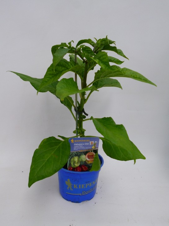 Chili (Habanero) T 10,5 'Calita Red' ROT