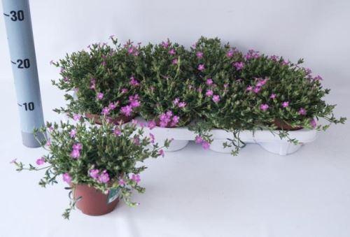 Saponaria ocymoides 'Bressingham Pink' T 12