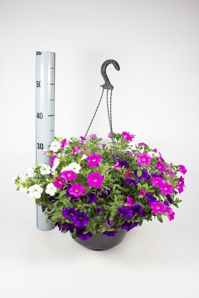 Calibrachoa T 25 Ampel TRIO