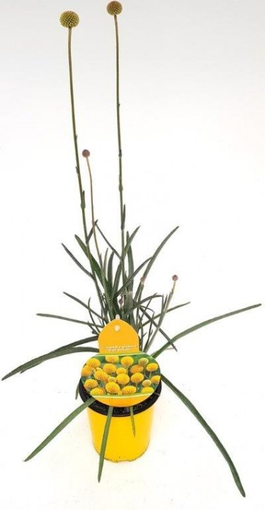 Craspedia globosa 'Golf Beauty' T 13