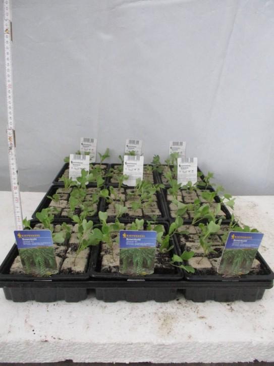 Rosenkohl-Jungpflanzen 'Diablo' (12er Schale)