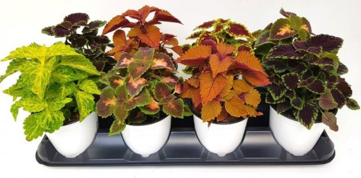 Coleus-Blumei-Hybriden T 13 MIX