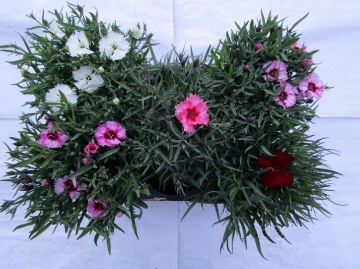 Dianthus chinensis T 13 Mix