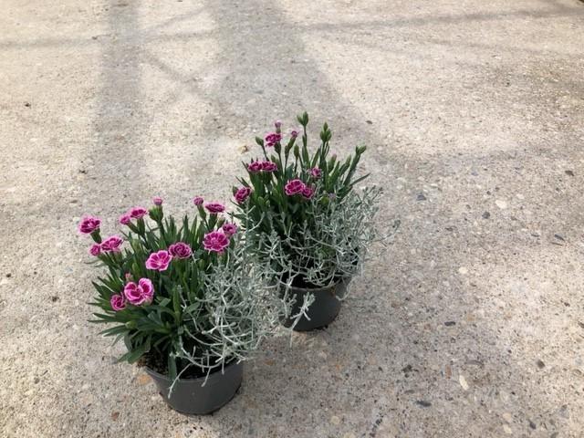 Calocephalus & Dianthus 'Pink Kisses' T 12  TWIN