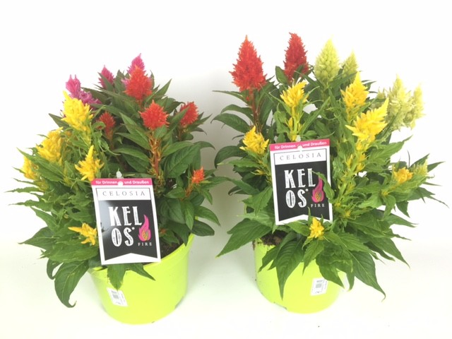 Celosia plumosa 'Kelos' T 19 TRIO