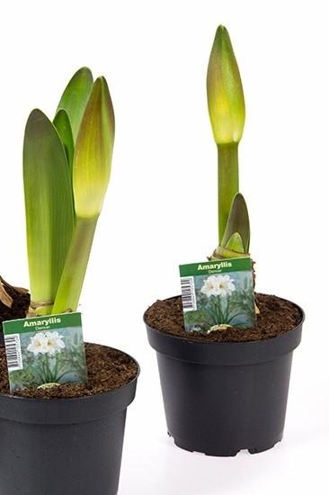 Hippeastrum-Hybrid (Amaryllis) T 12 WEISS  1-2 Kn.
