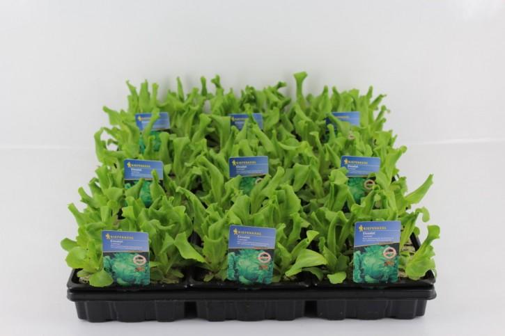 Eissalat 'Lerinas' GRÜN Jungpflanzen  (12er Schale)